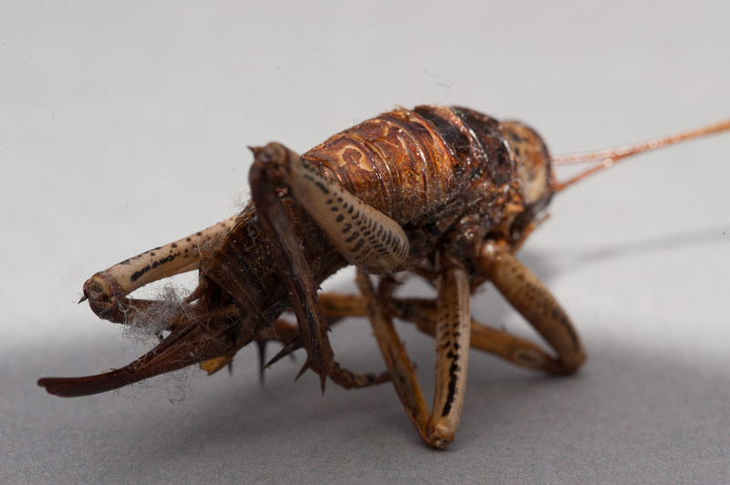Weta photographed with built-in flash showing shadow cast by the lens hood