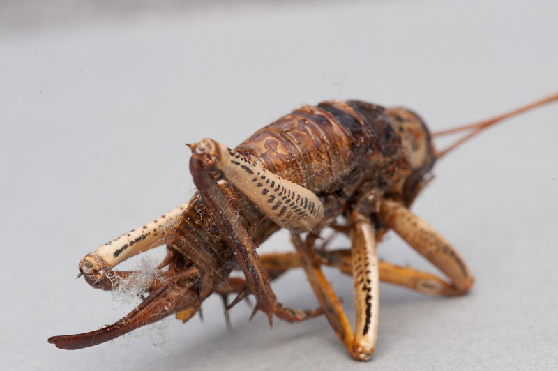Weta photographed with the built-in flash and diffuser. Soft wrapping light with no shadow from the lens