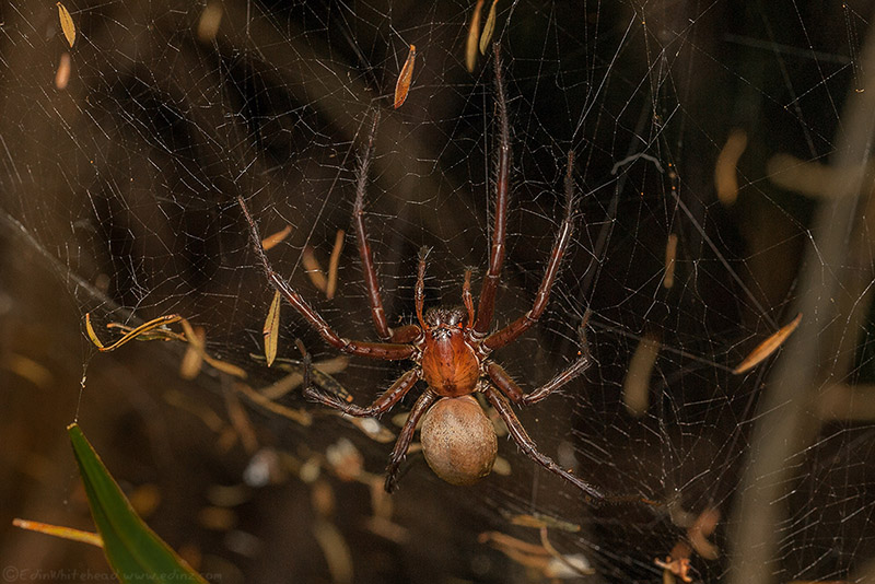 Sheetweb Spider (Cambrigea spp) photographed by Edin with our DIY macro flash diffuser