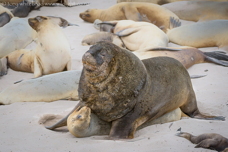 Sea lions mating - photo#14