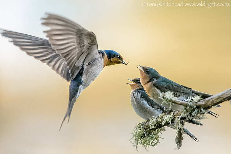 Swallows_DSC9900-web.jpg