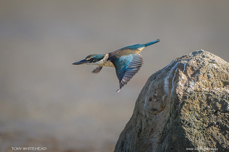 Kingfisher_DSC8950-web-2.jpg