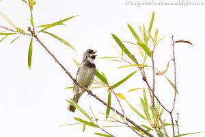 Double-collaredSeedeater_D810063-web.jpg