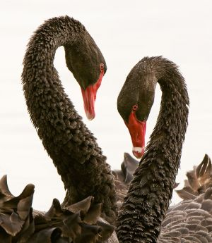 Courting-Black-Swans.jpg