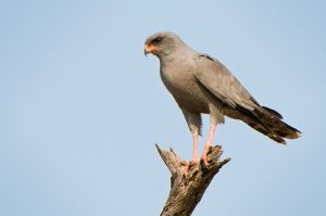 DarkChantingGoshawk-webSA2008-Elandshoek2-263.jpg