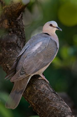 Red-eyedDove-web.jpg