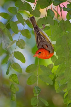 Red-headedWeaver_D3S8743-web.jpg