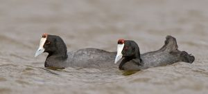 Red-knobbed Coots-web.jpg