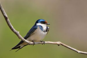 White-throatedSwallow-SA2008Irene1-8-web.jpg