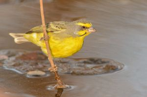 Yellow-eyedCanary_D801781-web.jpg